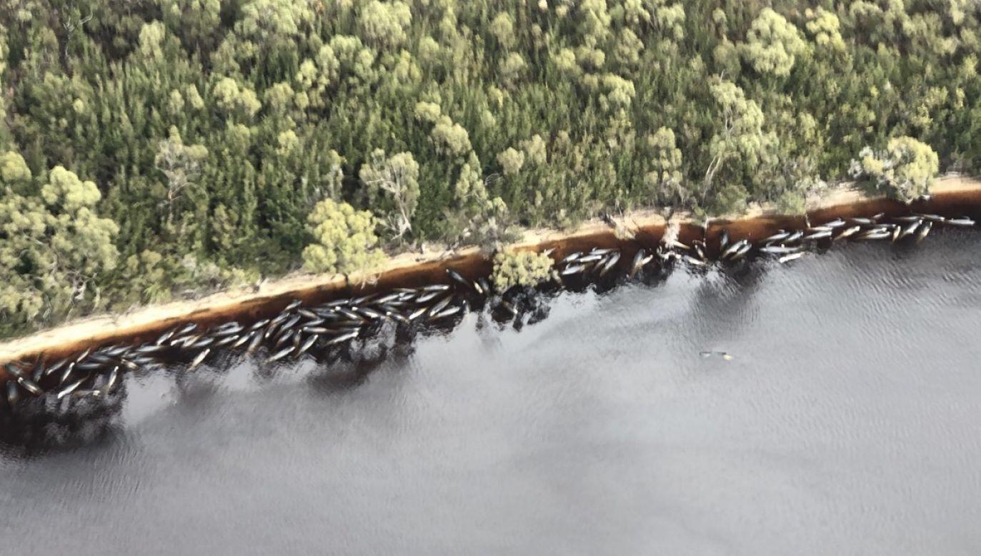 Utknięcie 470 waleni na mieliźnie jest największym tego typu zjawiskiem w historii wyspy i całej Australii (fot. PAP/EPA/PATRICK GEE/THE MERCURY/POOL)