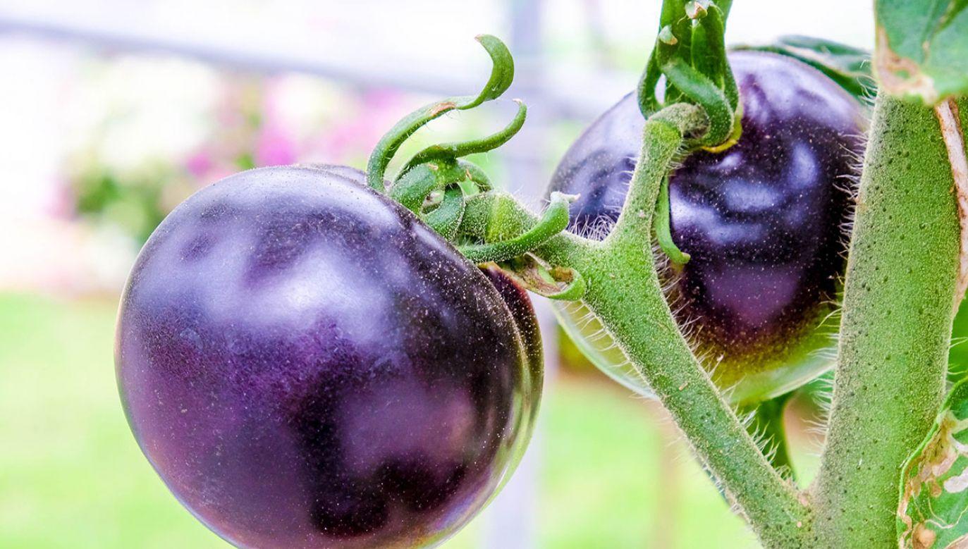 Wśród 30 tysięcy genów pomidora zidentyfikowano ten, który barwi jego skórkę na kolor fioletowy  (fot. Shutterstock/Nattapol_Sritongcom)