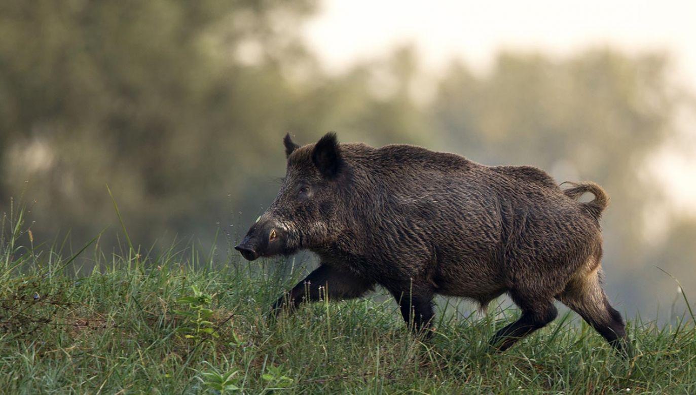 Wcześniej przypadki ASF stwierdzono w okręgach Sprewa-Nysa i Odra-Sprewa (fot. Shutterstock/Budimir Jevtic)