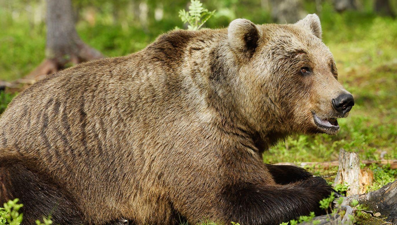 Nikomu nic się nie stało, a strachu najadł się zapewne sam niedźwiedź (fot. Shutterstock)