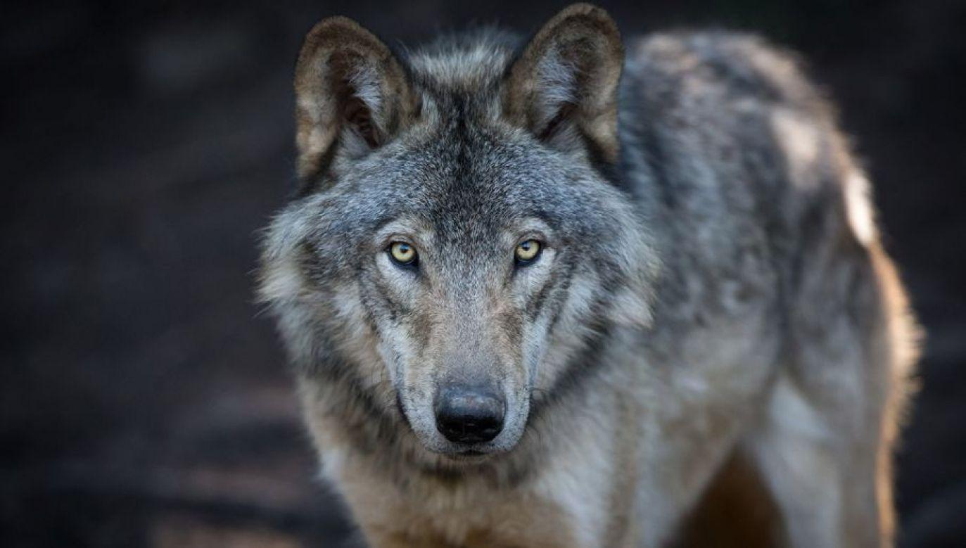 Badania potwierdziły, że wilki z okolic Czarnobyla kontaktują się z osobnikami spoza Strefy Wykluczenia (fot. Shutterstock/Pat Lauzon)