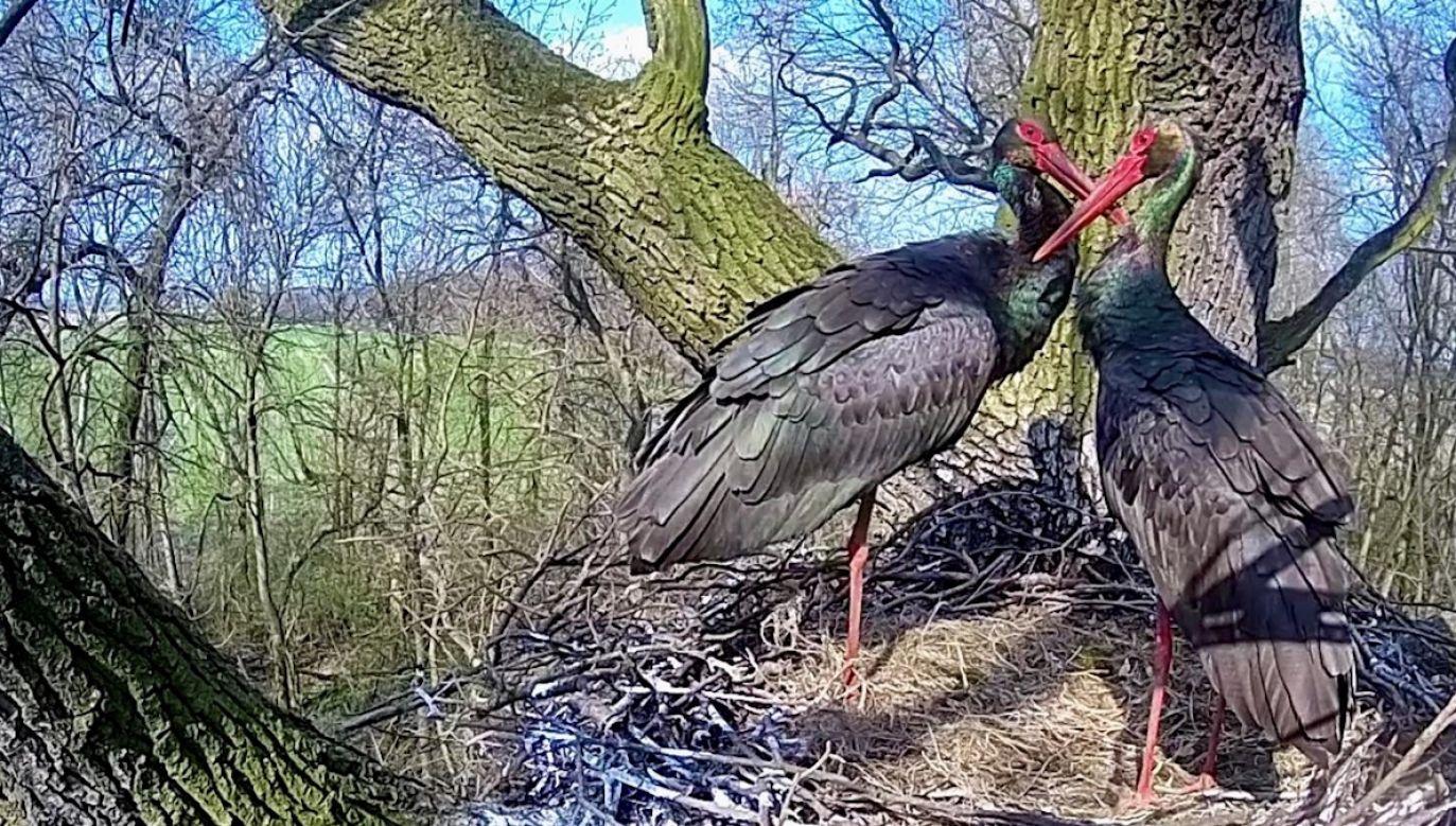 Kamery zamontowano przy dwóch gniazdach czarnych bocianów (fot. Regionalna Dyrekcja Lasów Państwowych w Łodzi)