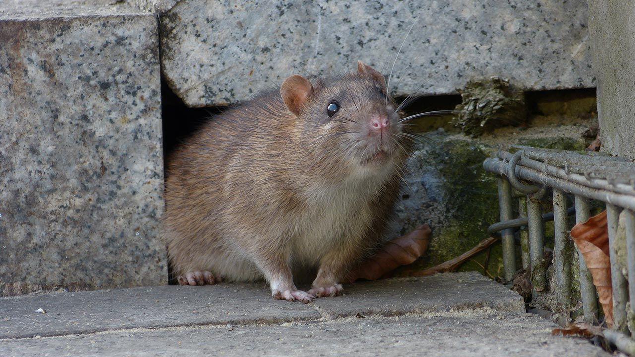 Szczury w Finlandii (fot. Shutterstock)