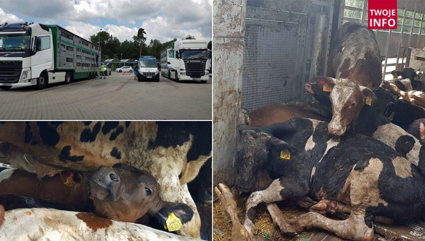 Inspektorzy byli przerażeni warunkami, w jakich transportowano zwierzęta (fot. GITD)