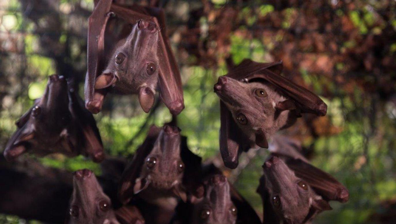 Prowadzą nocny tryb życia. Dzień spędzają zwisając głową w dół w koronach drzew (fot. mat. prom.)