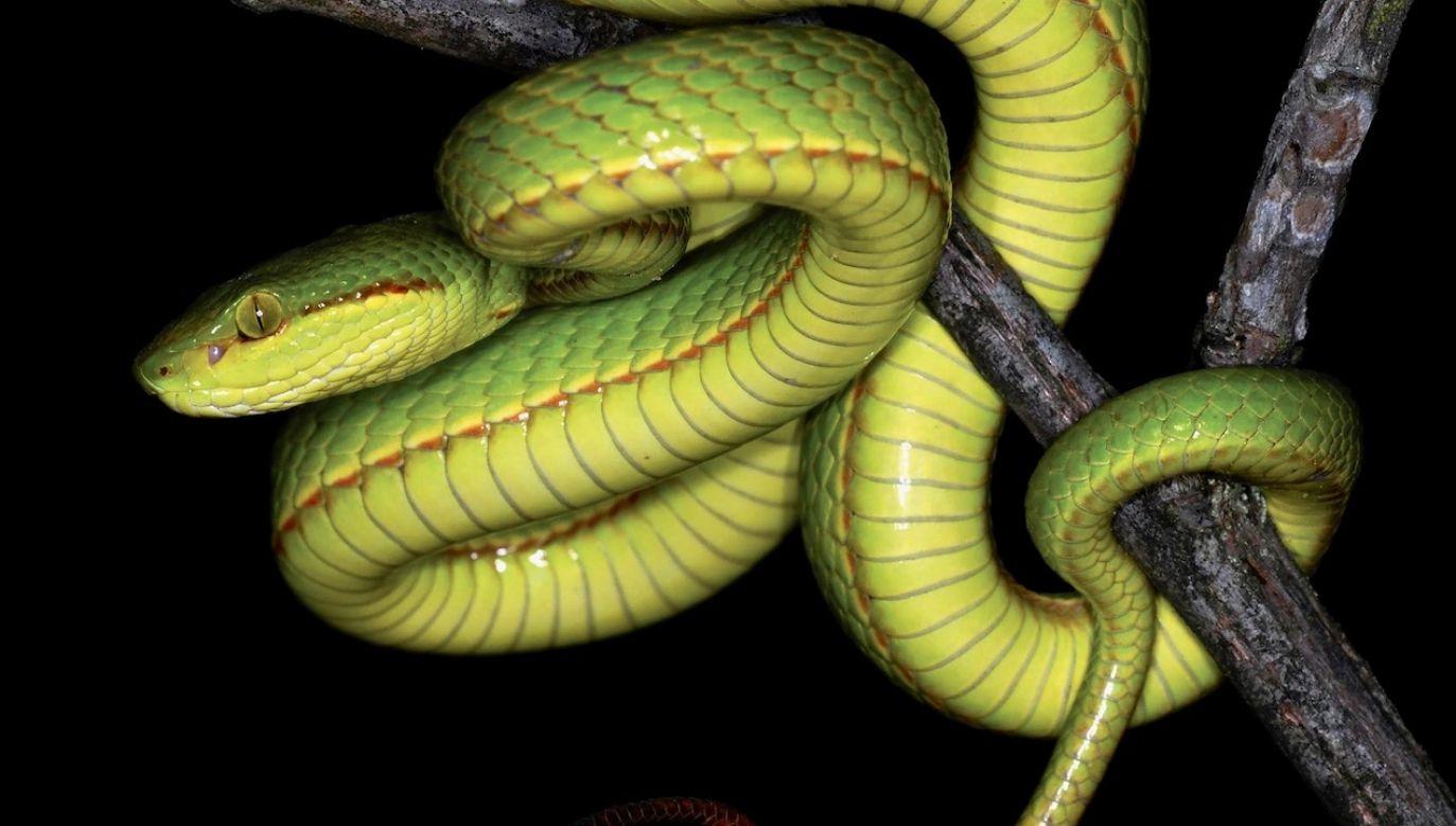 Gad jest jadowity, ma zielone łuski (fot. Aamod Zambre&Chintan Seth, Eaglenest Biodiversity Project)