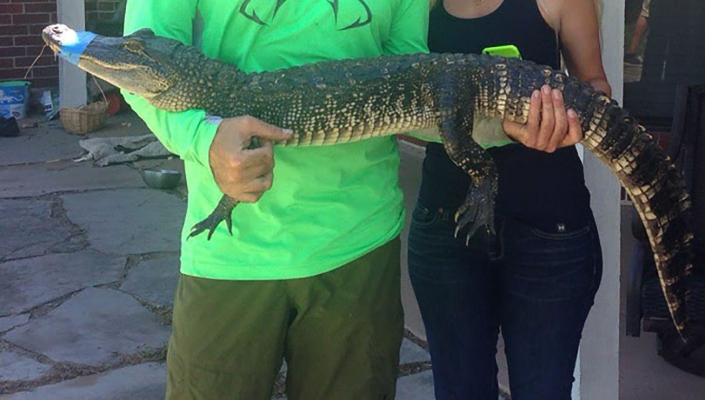To właśnie mały aligator był głównym powodem kłótni między mężczyznami (fot. Barcroft Media/Getty Images, zdjęcie ilustracyjne)