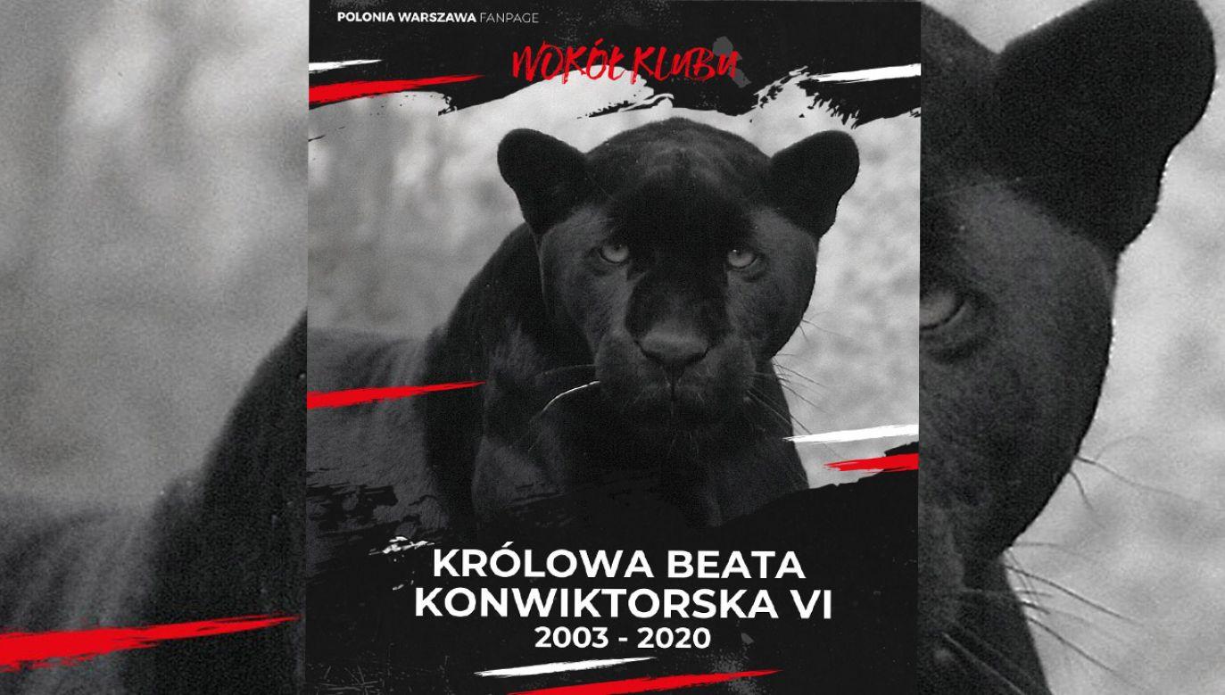 W 2019 roku w głosowaniu internautów Beata została wybrana najpiękniejszym dzikim kotem warszawskiego zoo (fot. FB/Polonia Warszawa)