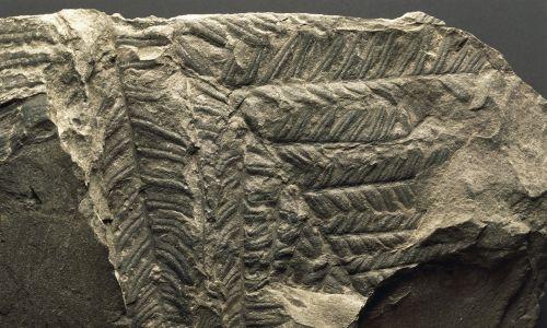 Skamieniałość Woodwardites obtusilobus, Euphyta, karbon. Fot. DeAgostini / Getty Images