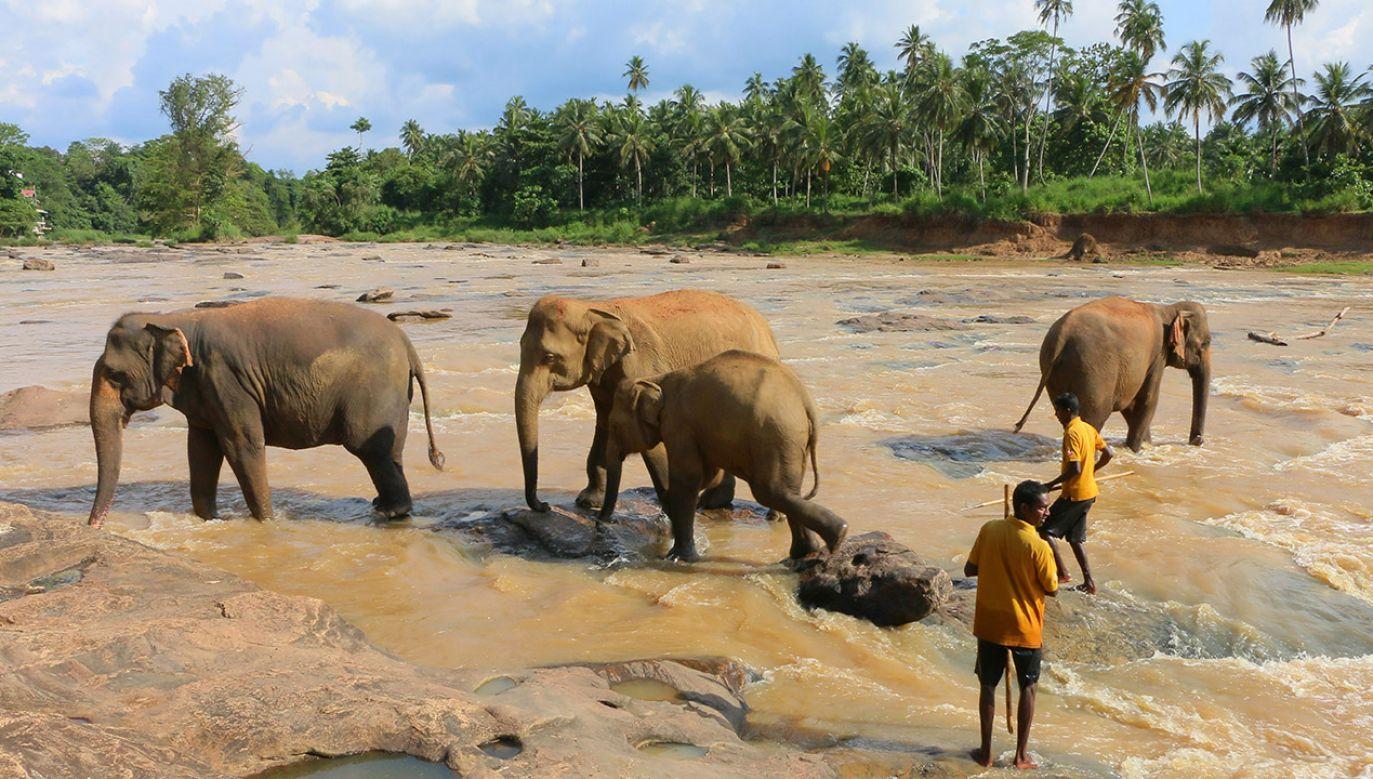 W sierocińcu na Sri Lance przybywa około 80 słoniątek. (fot.  Fatih Dogan/Anadolu Agency/Getty Images)