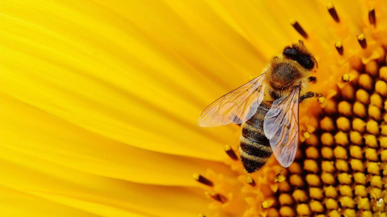 Coraz więcej miast tworzy programy pomocy pszczołom i innym owadom zapylającym (fot. Pexels)