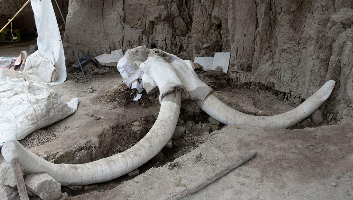 W okolicach Tultepec w Meksyku odkopano 800 kości mamutów. (fot. INAH - National Institute of Anthropology and History/Meliton Tapia/Handout via REUTERS)