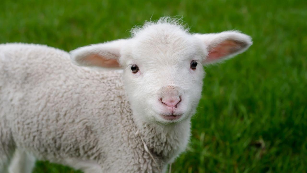 Naukowcy sprzedali genetycznie zmodyfikowaną owcę rzeźnikowi - tvp.info