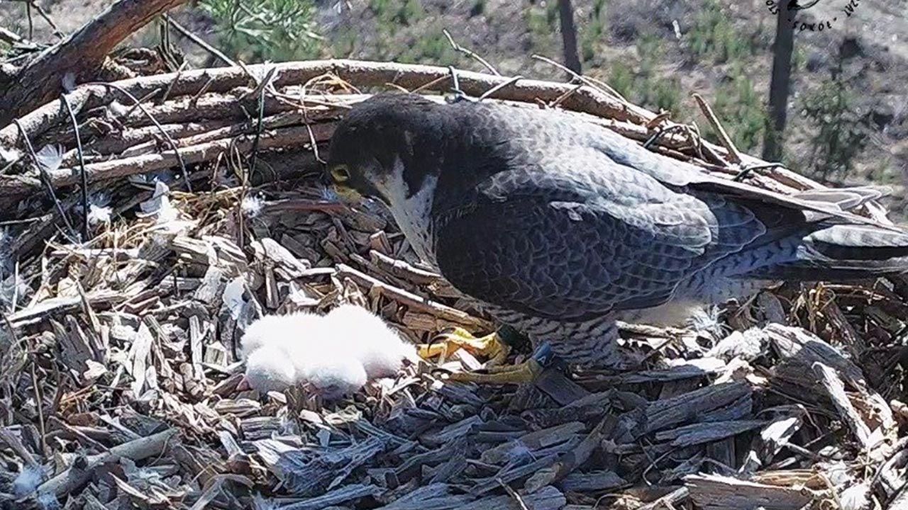 Młode ptaki spędzą w gnieździe do sześciu tygodni (fot. wfosigw.wroclaw.pl)