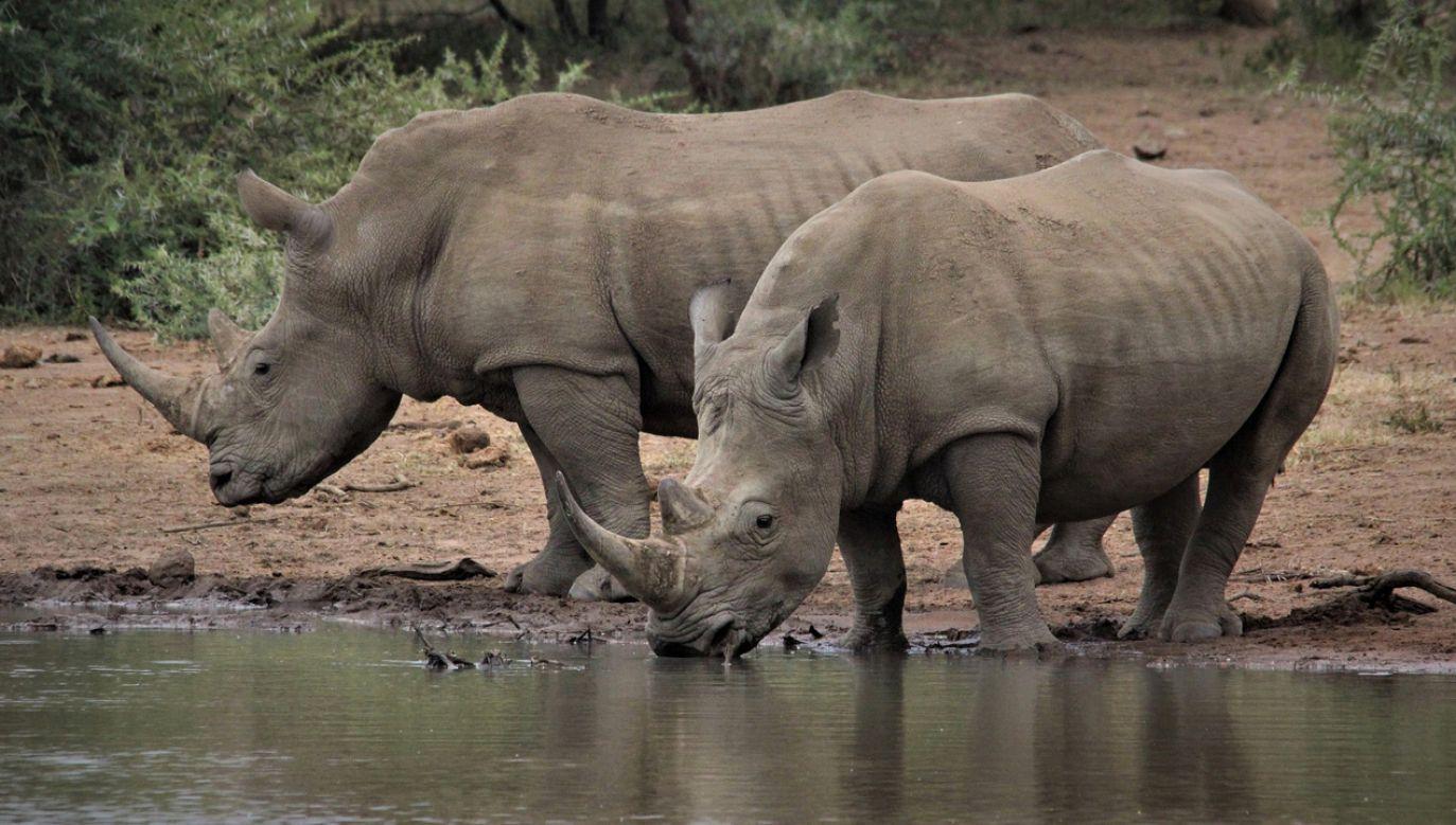 Róg nosorożca to  zbita kępka włosów sklejonych wydzieliną gruczołów łojowych (fot.  Pixabay/NBNB_NZ)