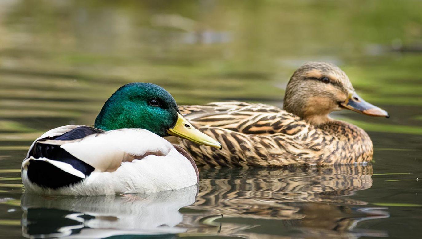 Rekomenduje hodowcom drobiu wzmocnienie bioasekuracji (fot. Shutterstock/Thorsten Spoerlein)
