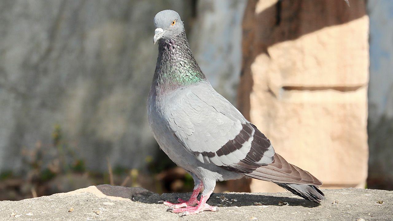 To już kolejny przypadek, że gołąb jest oskarżany w Indiach o działalność szpiegowską (fot. Shutterstock)