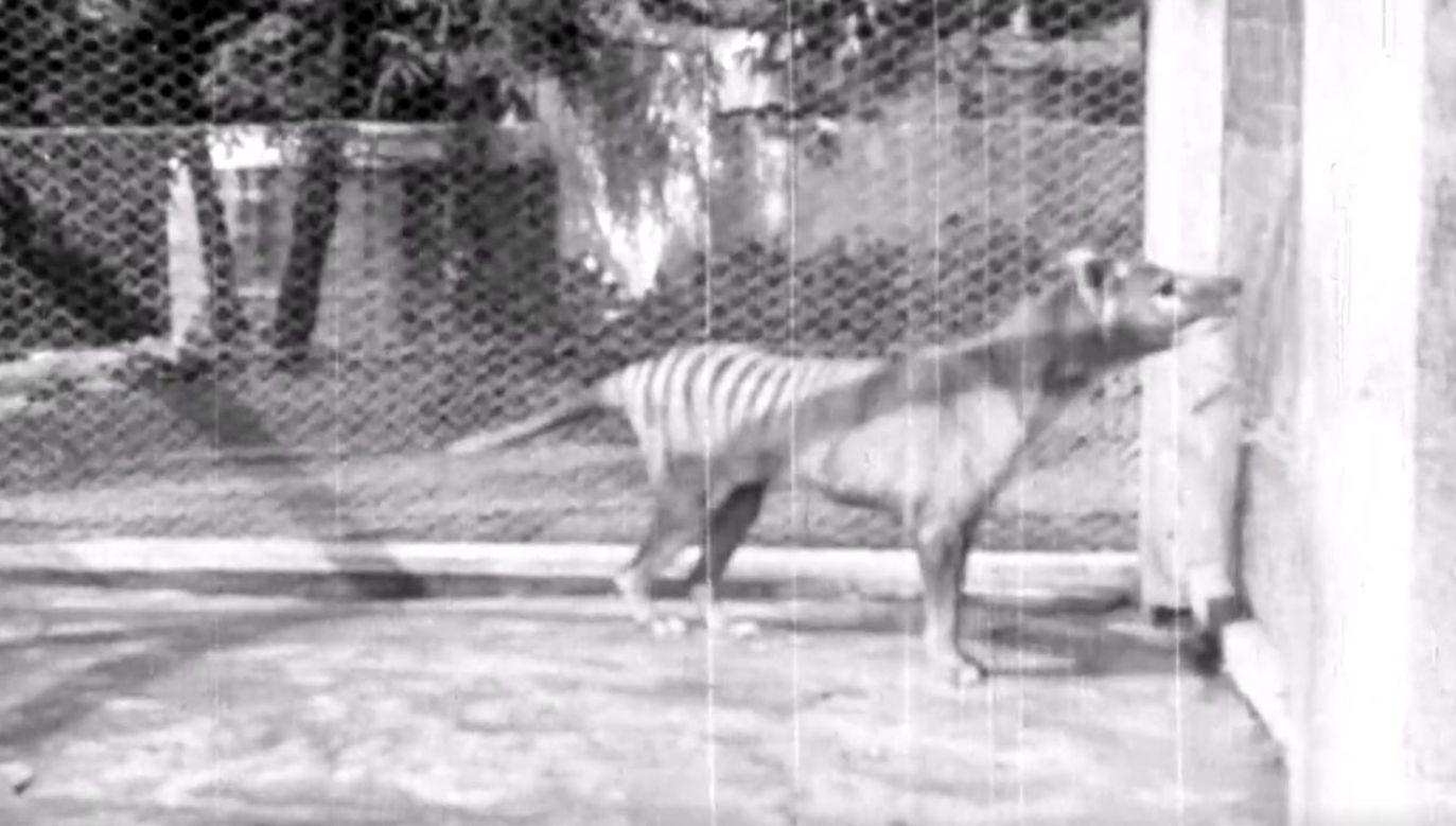 Udostępniono nagranie z tygrysem tasmańskim niewidziane od 85 lat (fot. NFSA)