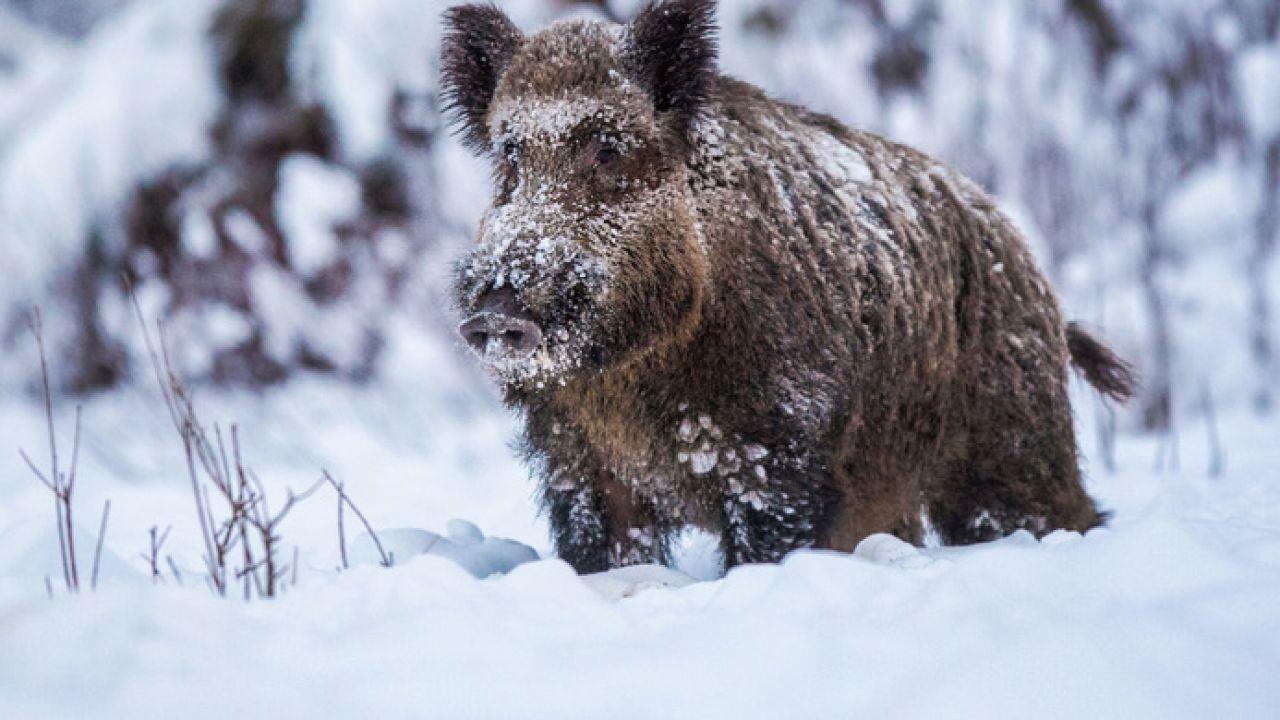Dzik uciekł (fot. Shutterstock/David Kalosson)