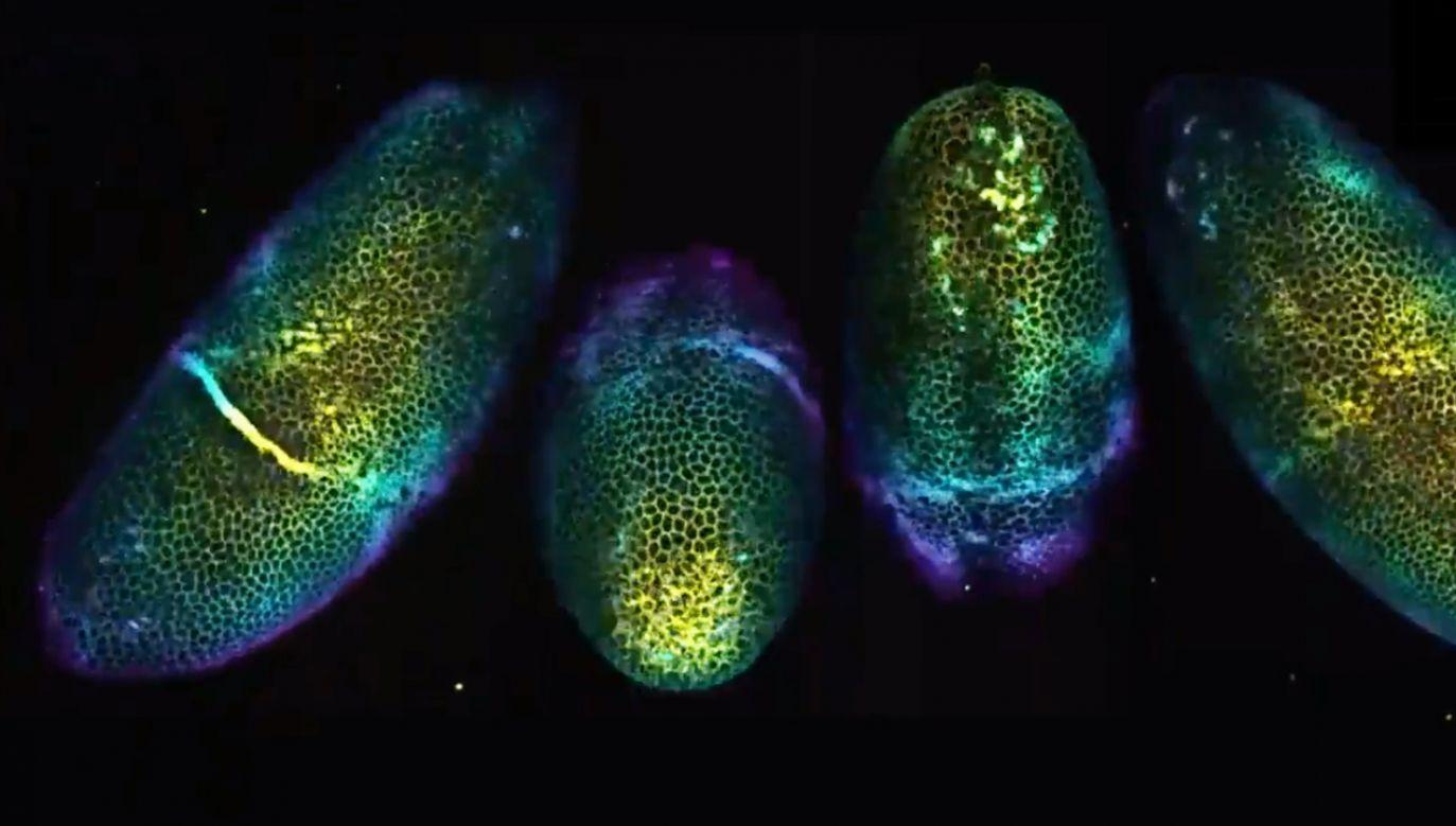 Zarodek muszki owocowej, zaobserwowany w technice LSFM (fot. TT/Micro Pictures)