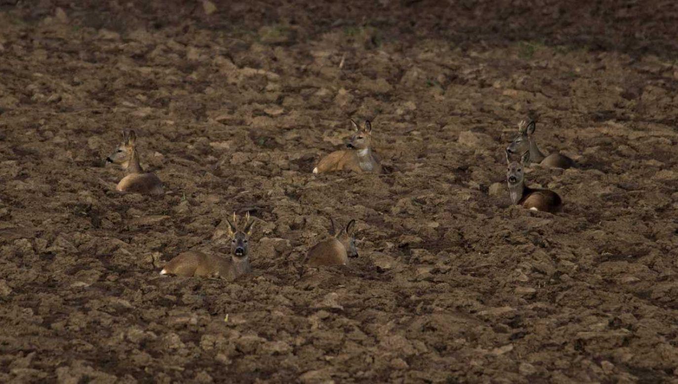 Sarny świetnie się kamuflują (fot. Lasy Państwowe)