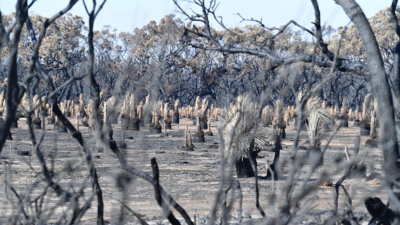 Niektórzy twierdzą, że to właśnie  podpalacze, a nie zmiany klimatu, odpowiadają w głównej mierze za pożary (fot. PAP/EPA/DAVID MARIUZ)