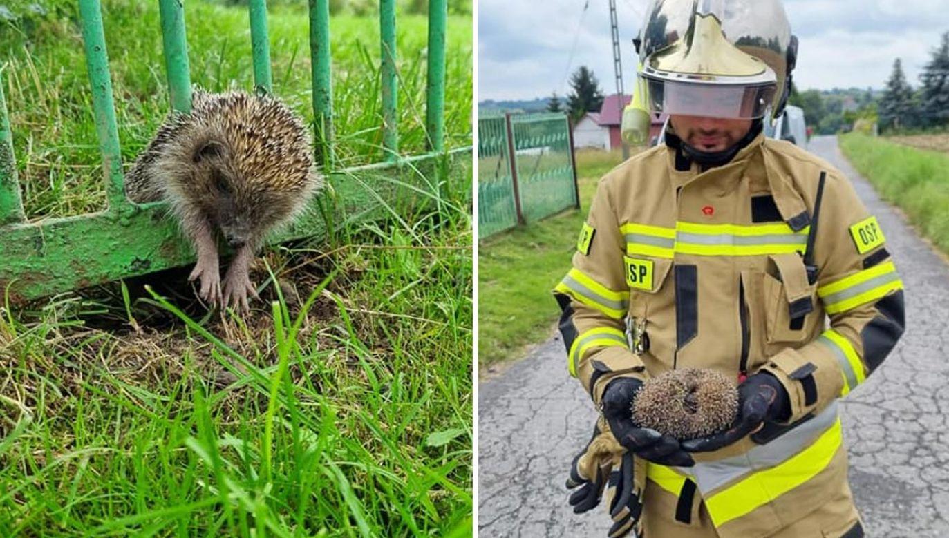 Jeż utknął między prętami ogrodzenia (fot. Facebook/Ochotnicza Straż Pożarna w Goszczy)