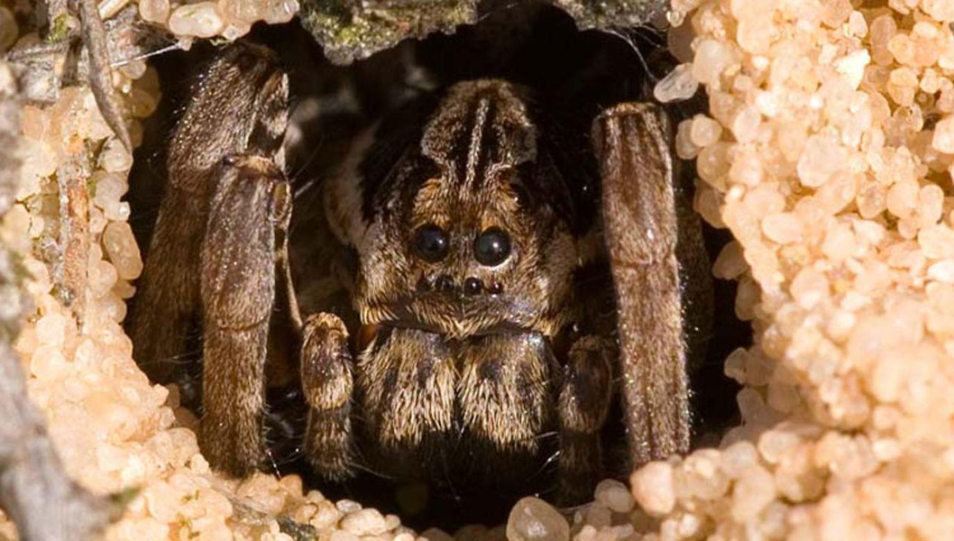 Dorosły przedstawiciel gatunku Alopecosa fabrilis mierzy około 5 cm długości (fot. Wiki 3.0/Michael Hohner)