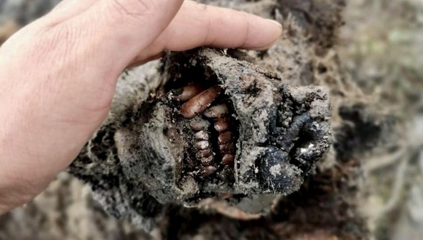 Szczątki niedźwiedzia zostały znalezione przez pasterzy reniferów na Wyspie Bolszoj Lachowski (fot. North-Eastern Federal University)