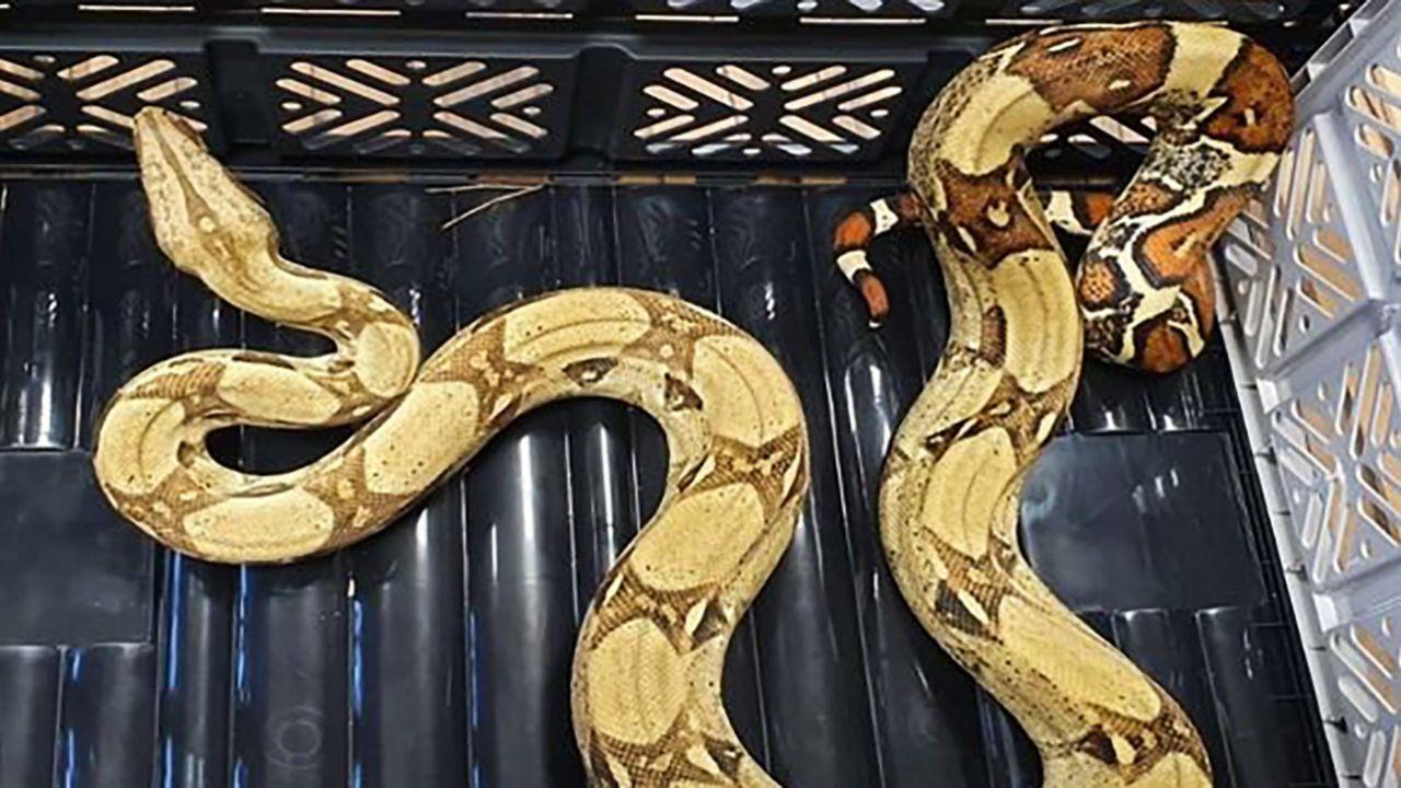 Wąż został odłowiony i oddany pod opiekę emerytowanego policjanta (fot. KPP w Górze)