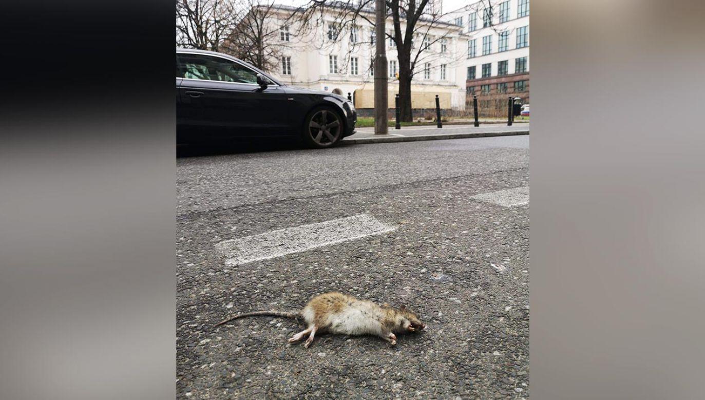 W ostatnim czasie jeden z gryzoni został zaobserwowany pod Urzędem Dzielnicy Śródmieście (fot. Facebook/Portal Warszawski/Paweł Czarnecki)