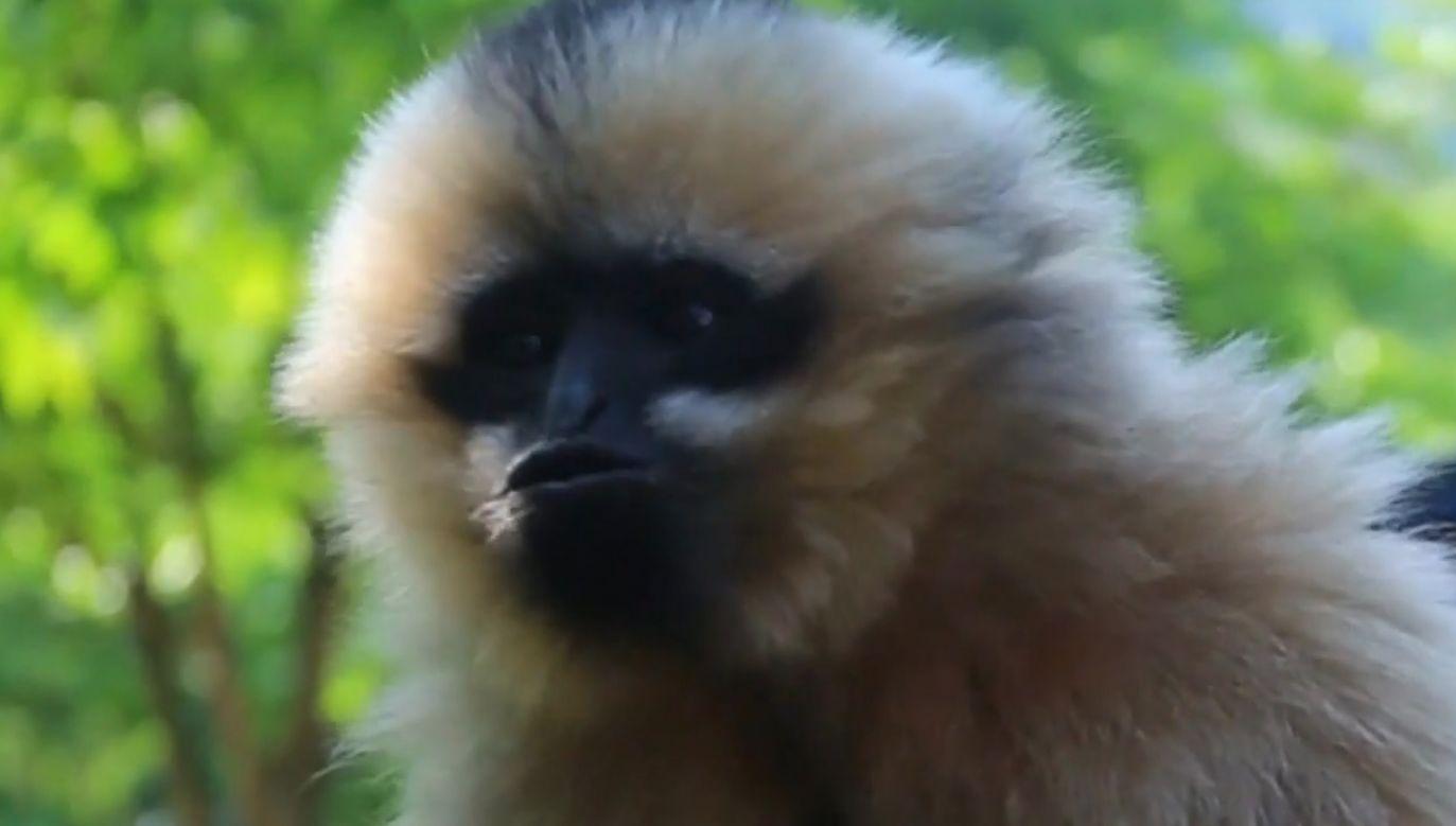 Gibon nabiera sił, aby wrócić do środowiska naturalnego (fot. TVP)