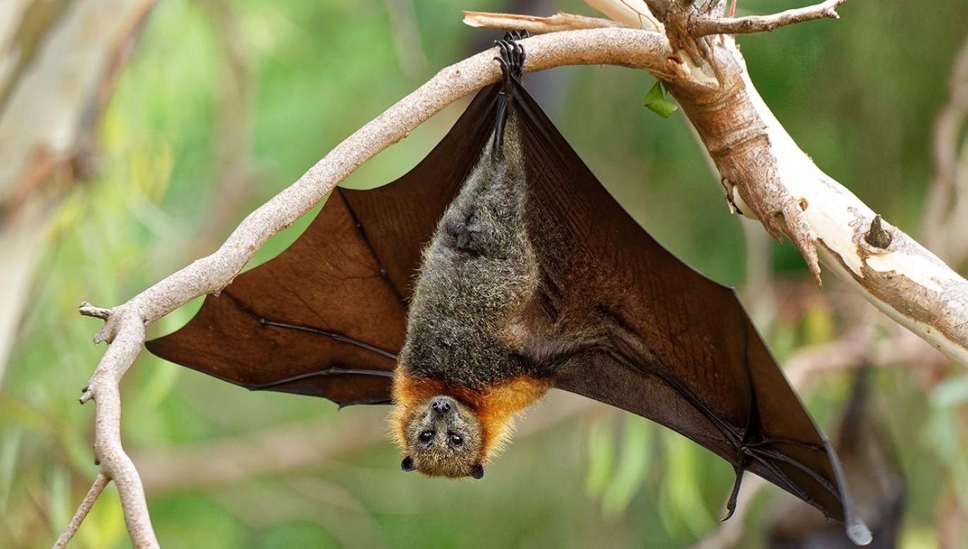 Nietoperze są niezbędne dla równowagi w naturze (fot. Shutterstock/Michal Pesata)