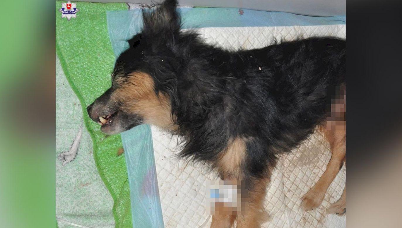 Pies wycieńczony, z licznymi obrażeniami, trafił pod opiekę weterynarza (fot. Policja)