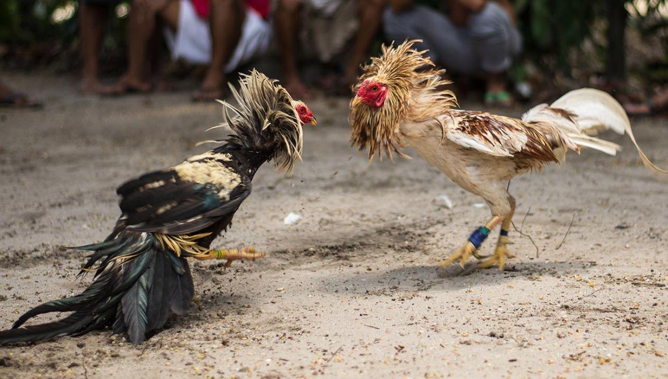 Doszło do tego podczas nielegalnych walk kogutów (fot. Shutterstock/Sergio Calabuig)