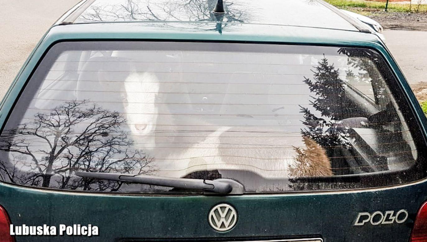 Pijany kierowca przewoził kozę i poszukiwanego mężczyznę (fot. Policja lubuska)