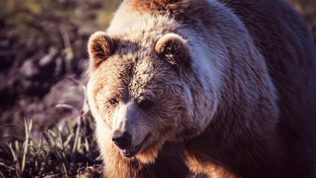 Trwają poszukiwania niedźwiedzia-zabójcy (fot. Pexels)