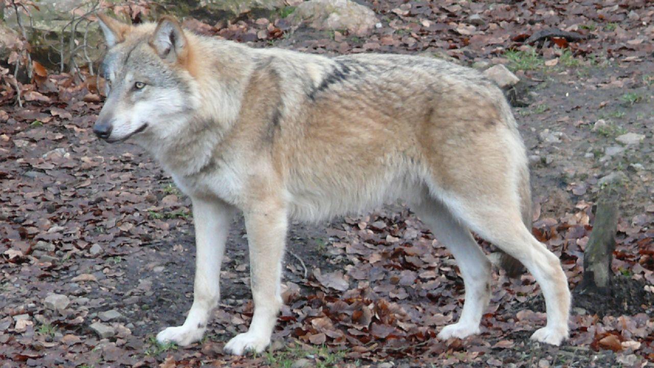 W programie powraca mi temat wilków (fot. flickr.com/stachelbeer)