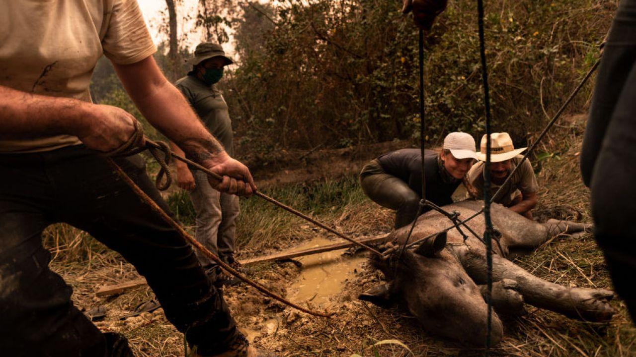 Pantanal w Brazylii. Grupa wolontariuszy uratowała 200-kilogramowego, poparzonego tapira (Getty Images/ Gustavo Basso)