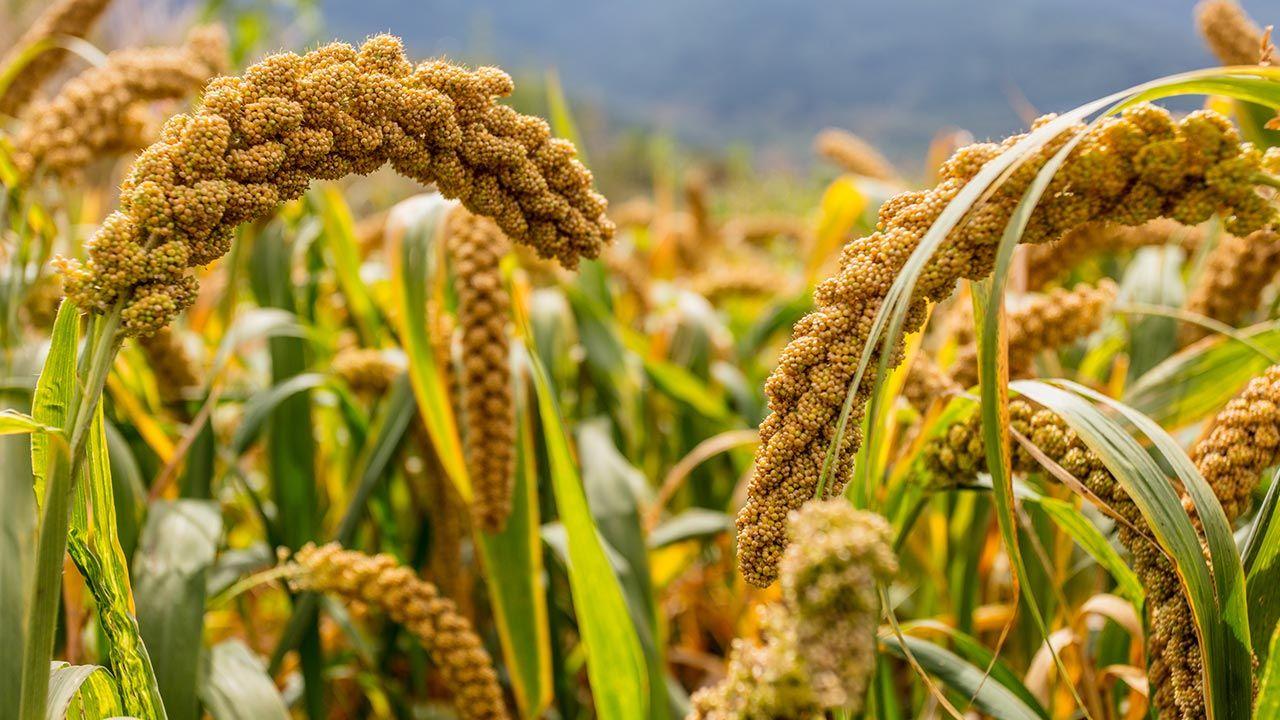 Zboże to dotarło na nasz kontynent z obszaru Chin (fot. Shutterstock/PENG TIANLI)