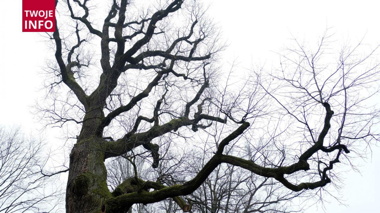 Dąb liczy około 650 lat i ma bogatą historię (fot.PAP/Darek Delmanowicz)