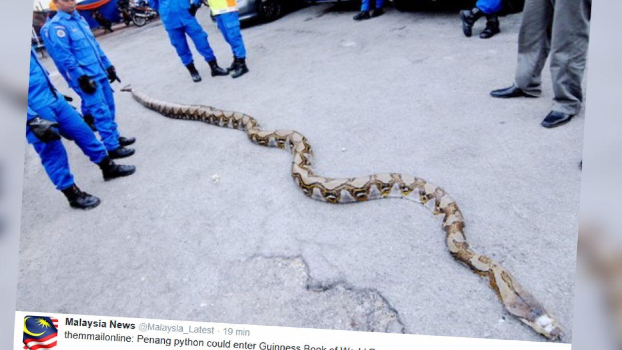Pyton ma 8 m długości i waży ok. 250 kg (fot. Twitter/Malaysia News)