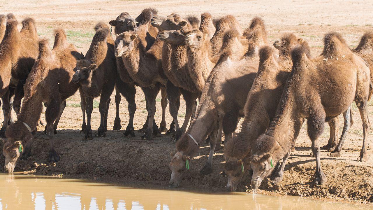 Tysiące dzikich wielbłądów w stanie Australia Południowa zostanie zabitych przez strzelców (fot. Shutterstock/Jack DD)