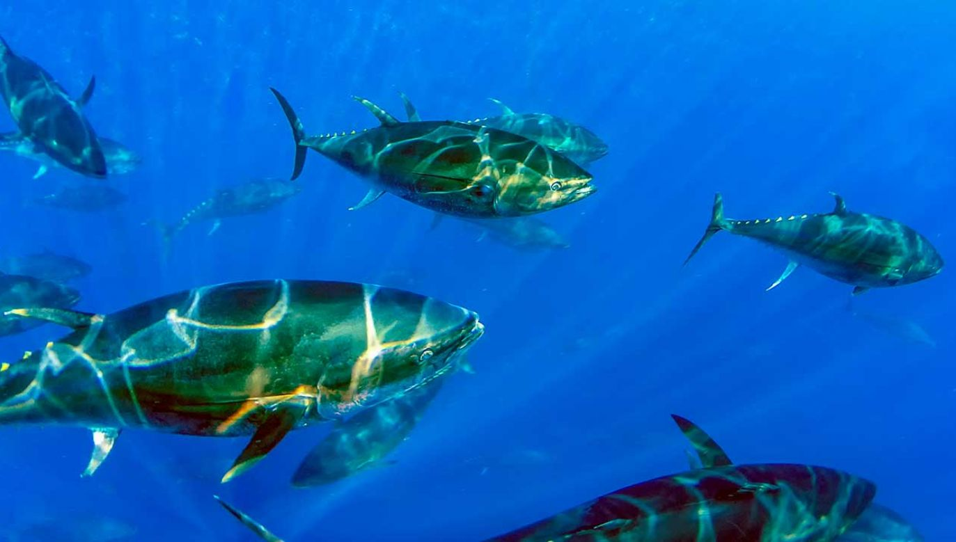 Irlandczycy rybacy złowili tuńczyka błękitnopłetwego ważącego 272 kg (fot. Shutterstock/Rob Atherton)