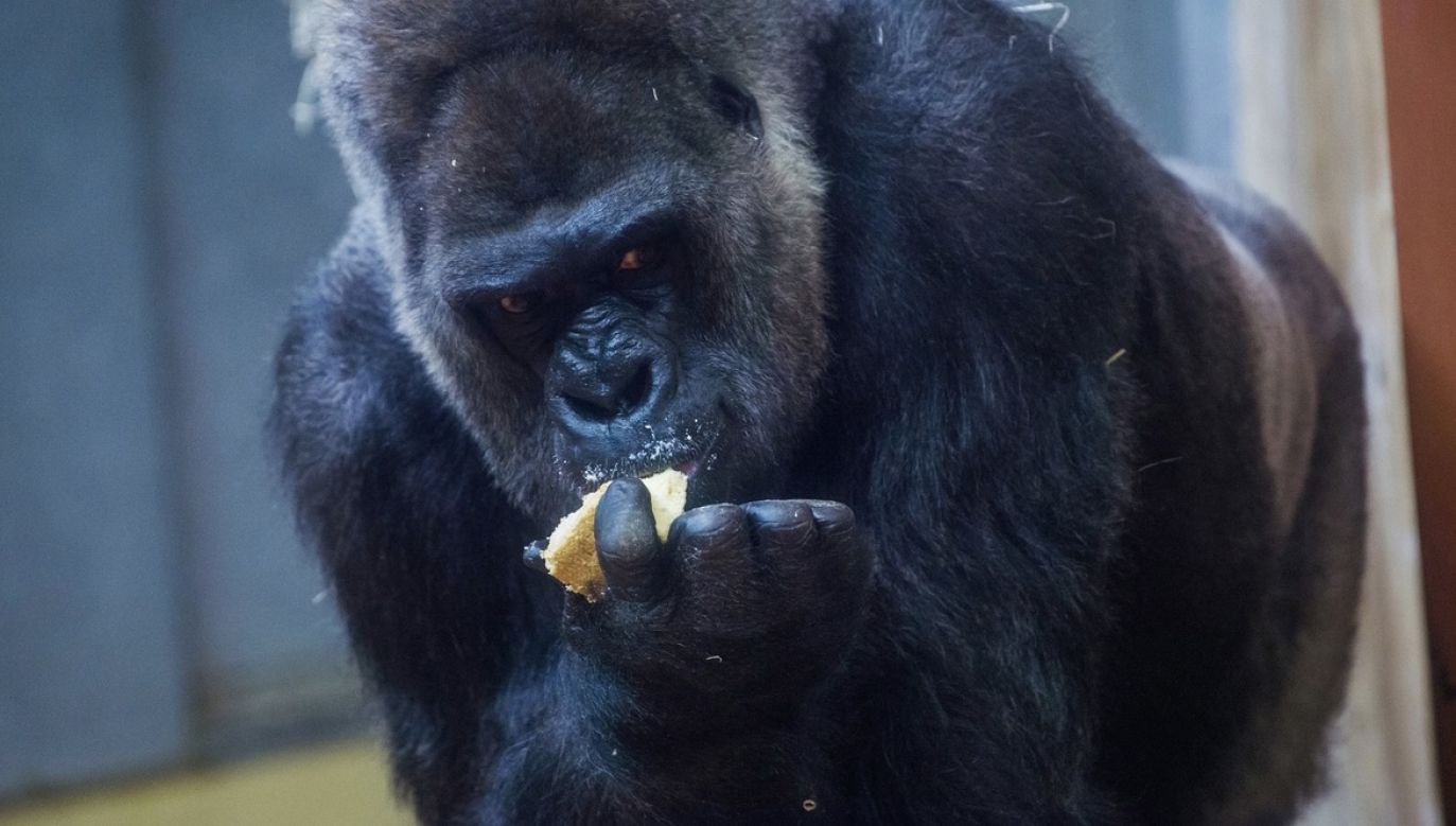 Nie wiadomo, w jaki sposób zwierzę weszło do chronionej potrójnymi drzwiami zagrody (fot. PAP/EPA/Zoltan Balogh, zdjęcie ilustracyjne)