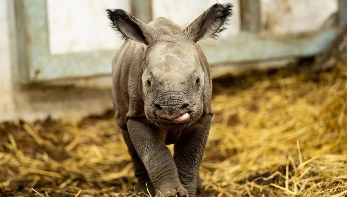 Samiczka nosorożca nazywa się Kiran (fot. ZOO Wrocław)