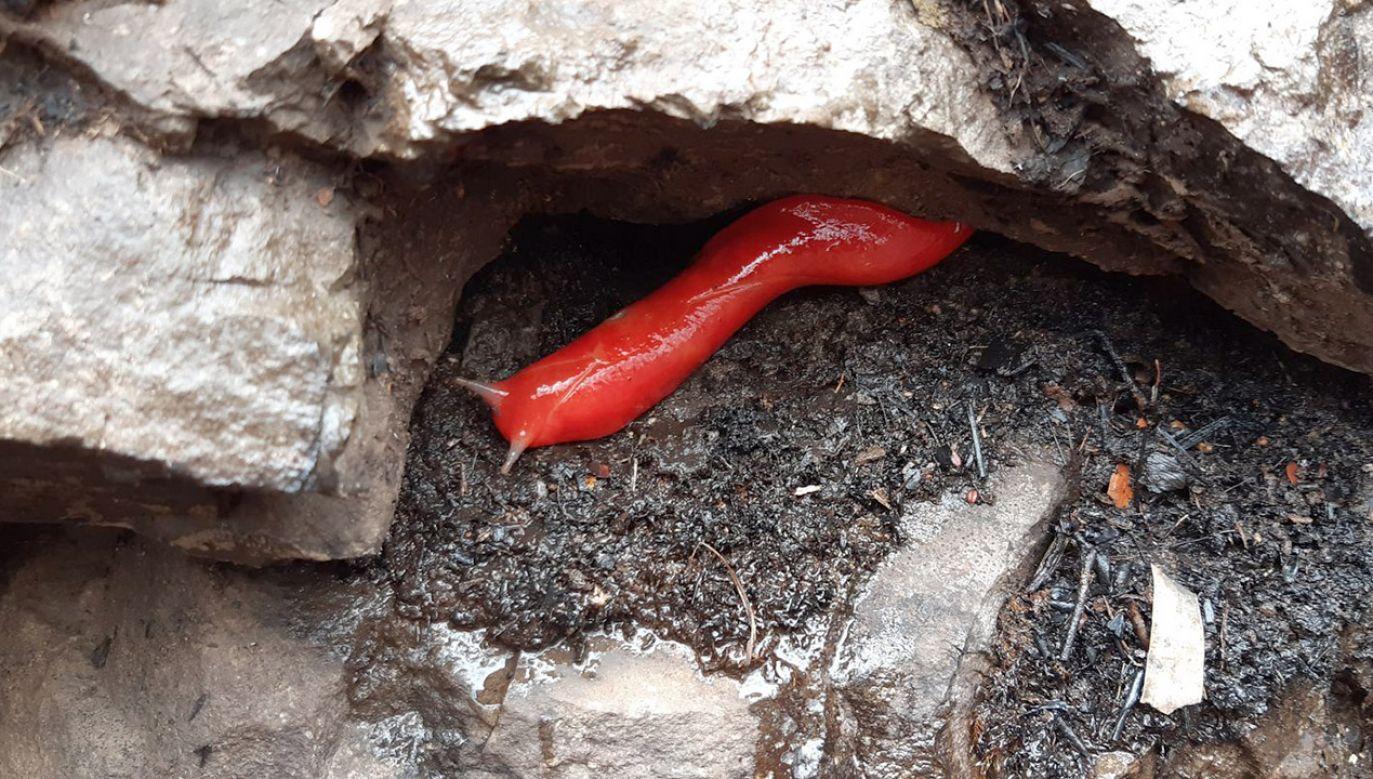 Zwierzęta te odgrywają ważną rolę w ekosystemie (fot. Fiona Gray/NSW National Parks and Wildlife Service)