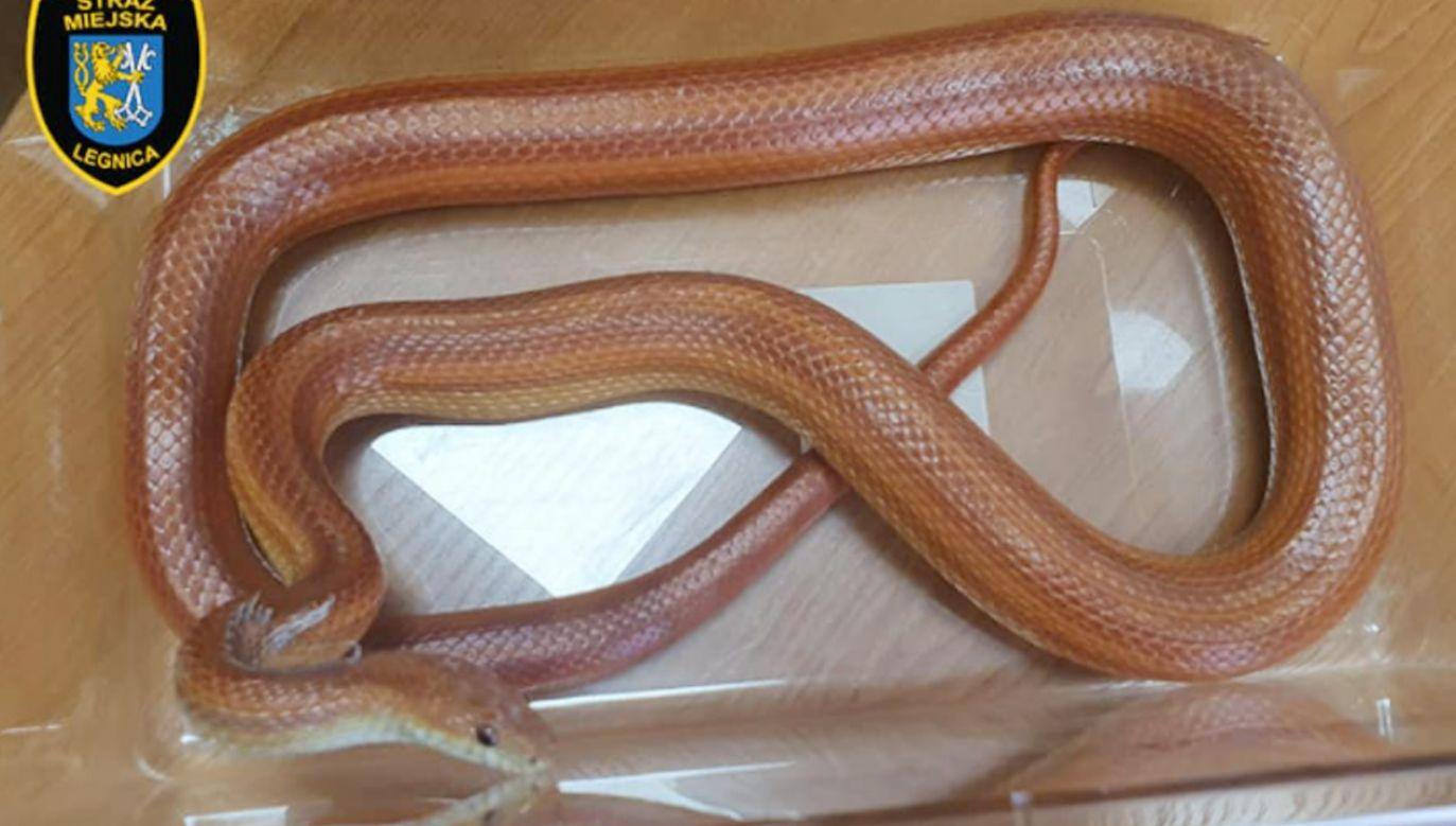 W łazience znaleziono węża (fot. Facebook/Rzecznik Prasowy Straży Miejskiej w Legnicy)