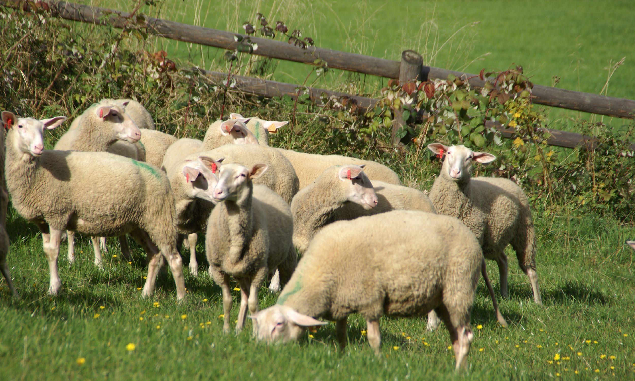 Mleko owiec ma duże stężenie związku L-karnityna, który korzystnie wpływa na mięśnie, w tym na serce.