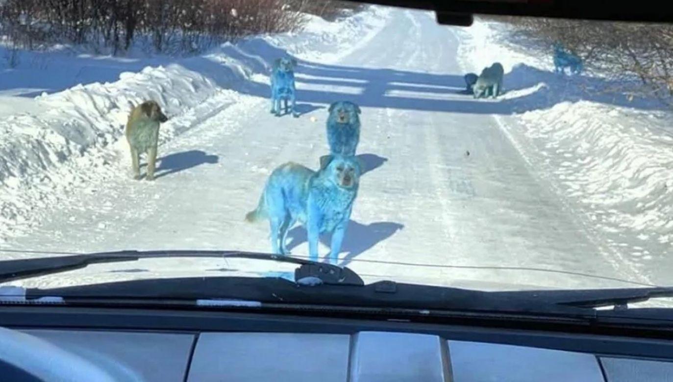 Niebieskie psy na drodze (fot. vk.com/Aleksej Ganin)